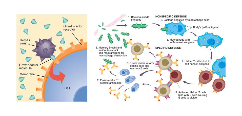 Antibody Immunity Utilizing B Cells