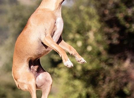 Le trouble de l'hyperactivité chez nos amis canins