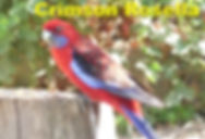 Crimson Rosella.jpg