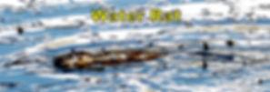 Water Rat 31st July 2 copy.jpg