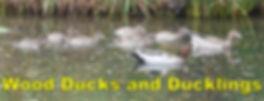 P1240963 Wood ducks & ducklings & pair P
