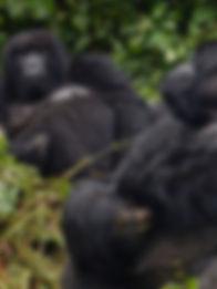 Gorilas_RM.jpg