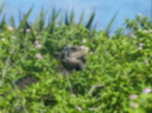 Iguane_sur_Petite_Terre,_Guadeloupe.jpg