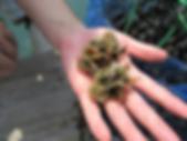 フジツボなどがついた稚貝
