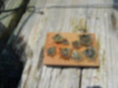 真珠の稚貝
