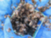 少し成長した真珠の稚貝
