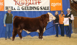Reserve Polled hereford