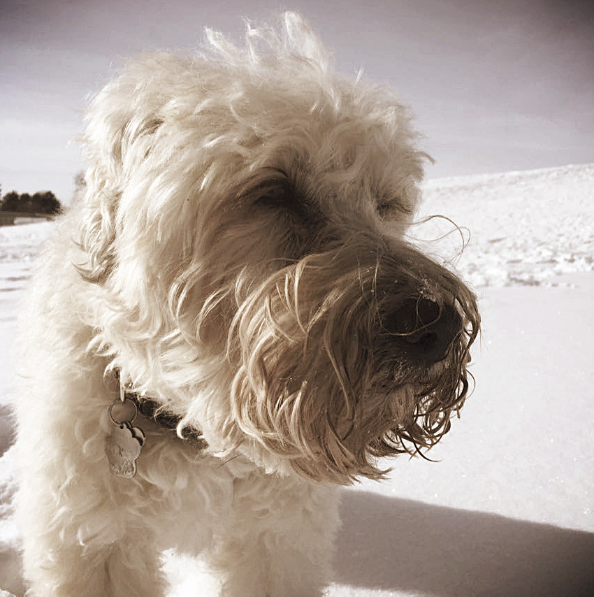 Danni, a beloved Wheaten Terrier