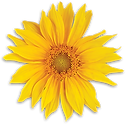 Sunflower-iso.png