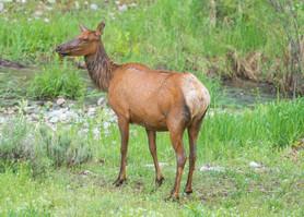 Elk with scar