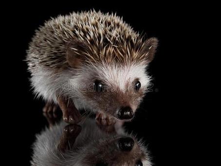 The Reflective Hedgehog