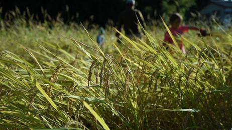 里学校稲刈り1