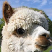 alpacas scotland