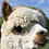 Thumbnail: Alpaca Zoom Party