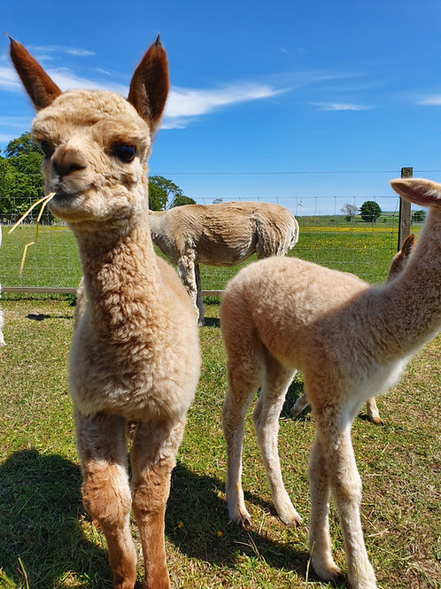 Alpaca Zoom Party