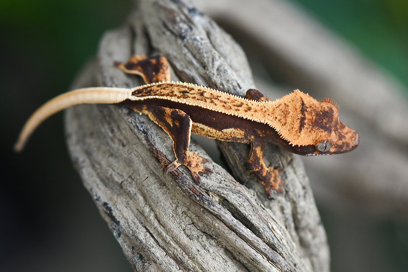 High Contrast Quad-Stripe Crested Gecko