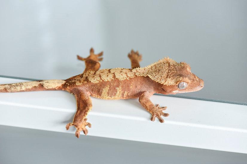 Red Harlequin Crested Gecko