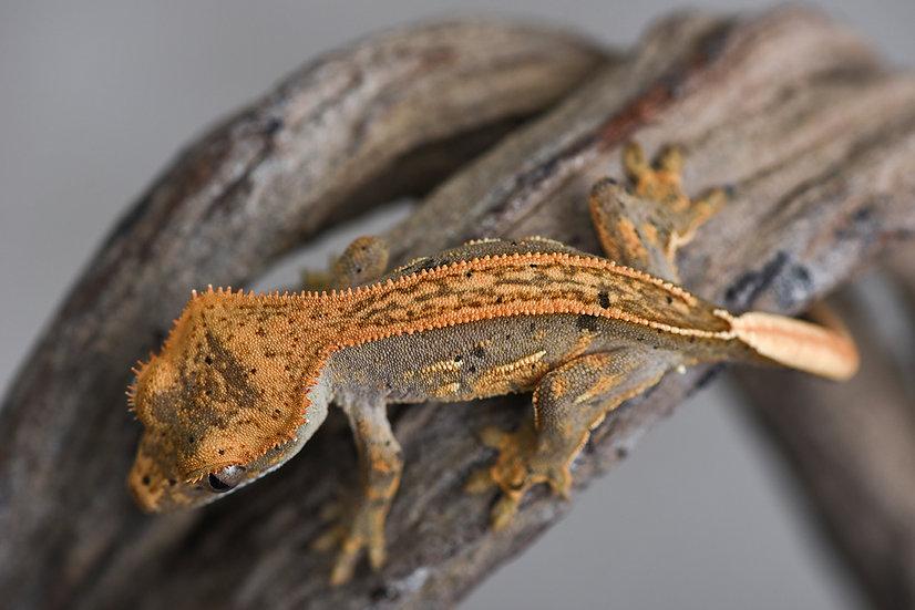 Lavender Tangerine Pinstripe Crested Gecko