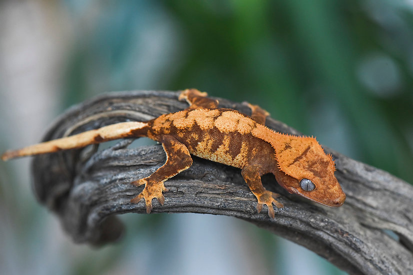 Red Extreme Harlequin Crested Gecko