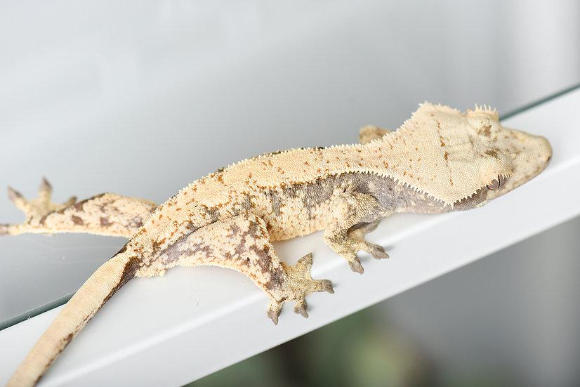 Cream/Extreme Harlequin Crested Gecko