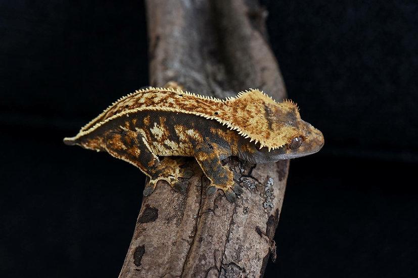 Tri Color Pinstripe Crested Gecko