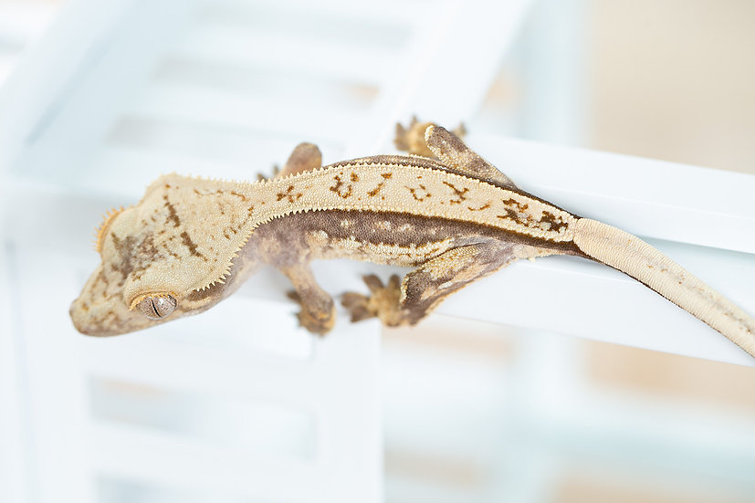 Quad-Stripe Crested Gecko