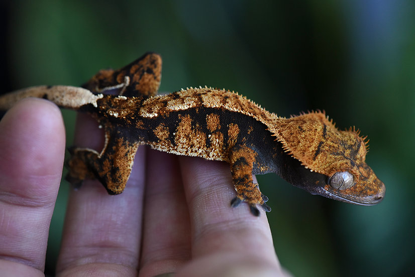 Halloween Harlequin Crested Gecko