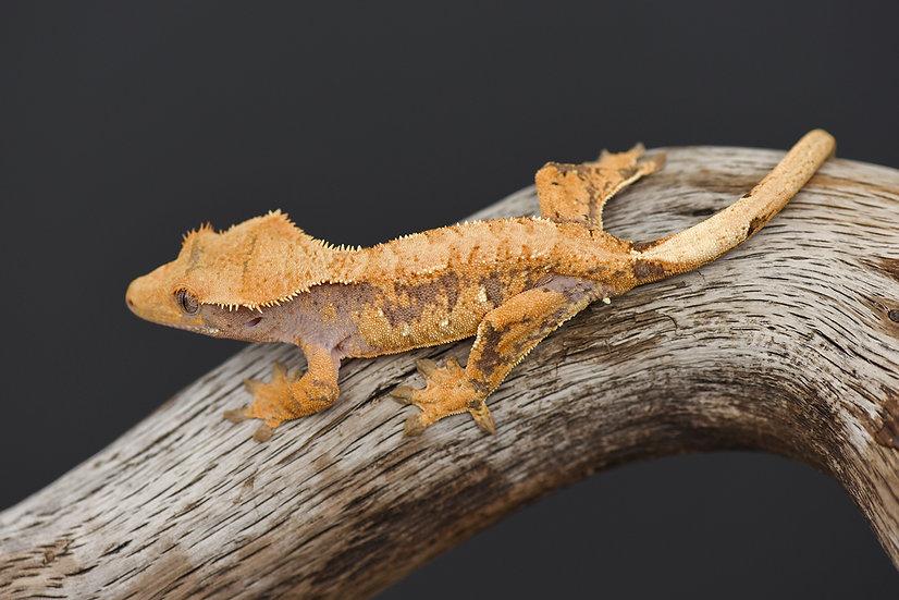 Lavender Extreme Harlequin Crested Gecko