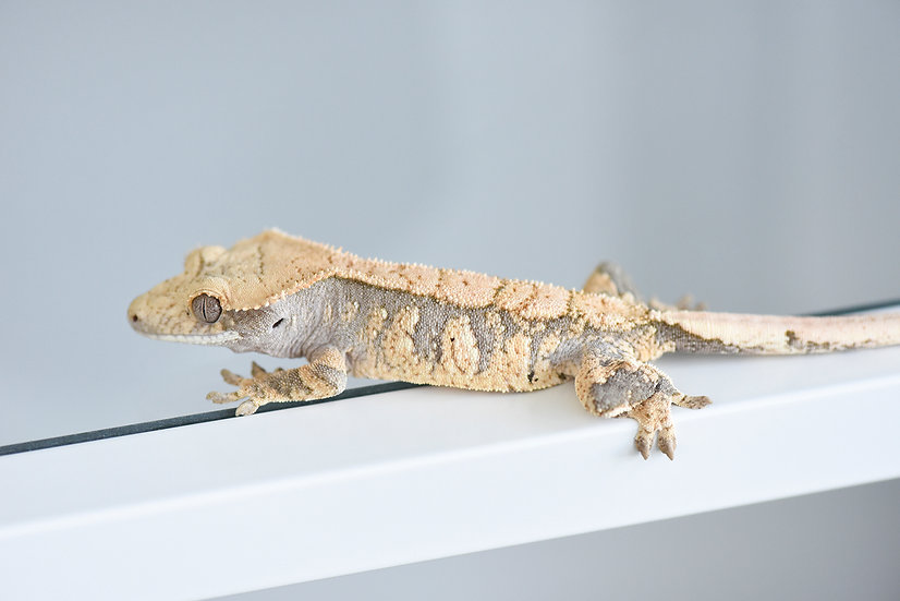 Lavender & Cream Extreme Harlequin Crested Gecko