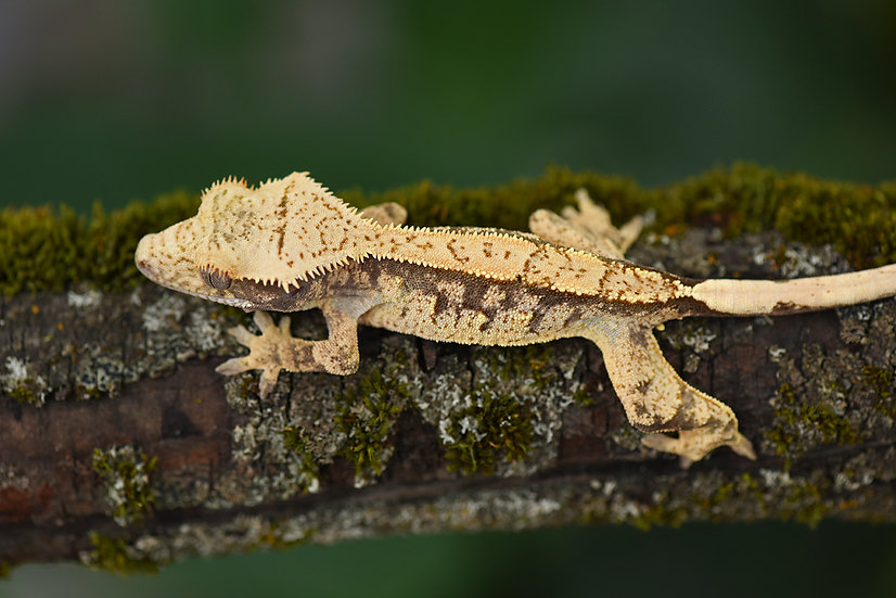 Creamy/Extreme Harlequin Crested Gecko