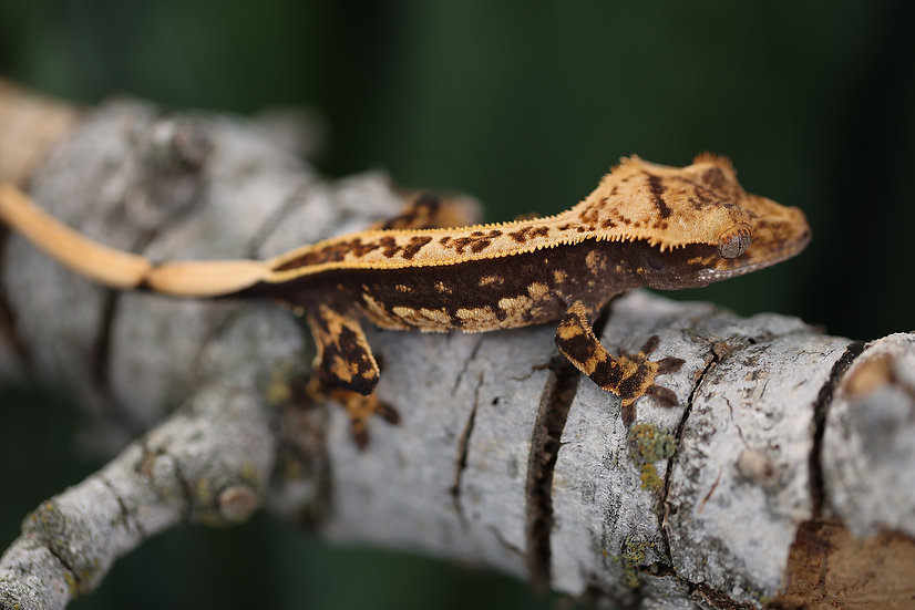 Full Pinstripe Crested Gecko