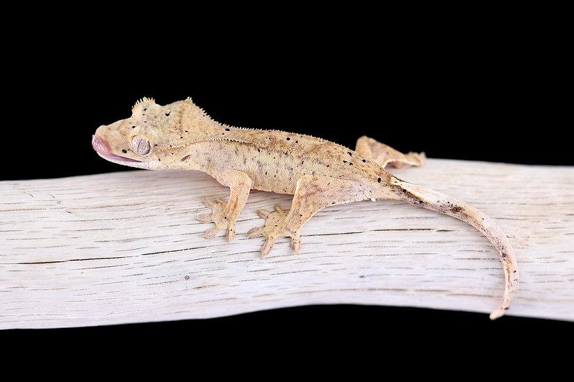 Yellow Dalmatian Crested Gecko