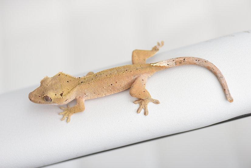 Mardi Gras Dalmatian Crested Gecko