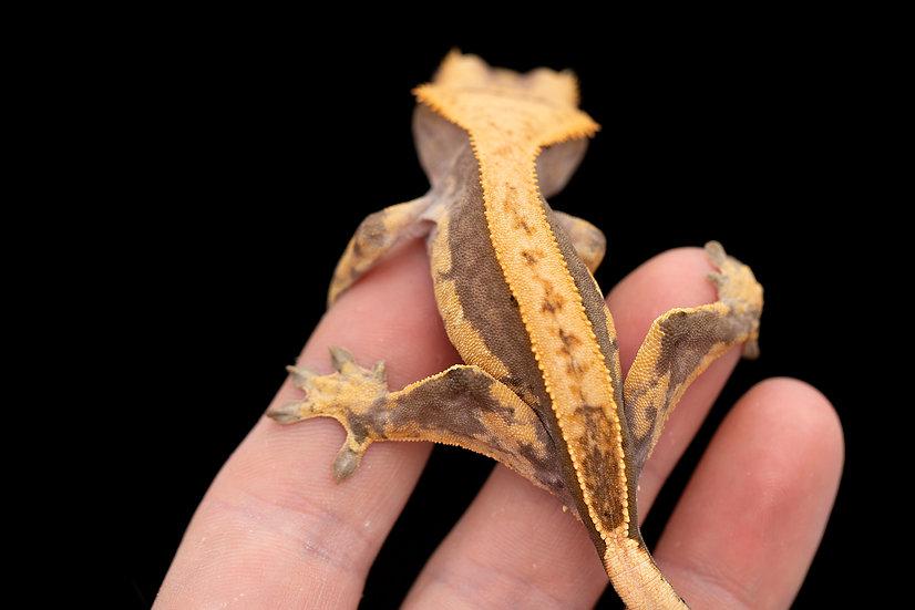 Lavender Solid Pattern Pinstripe Crested Gecko