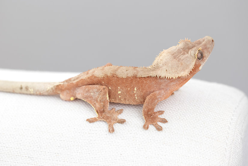 Pink Lines Crested Gecko