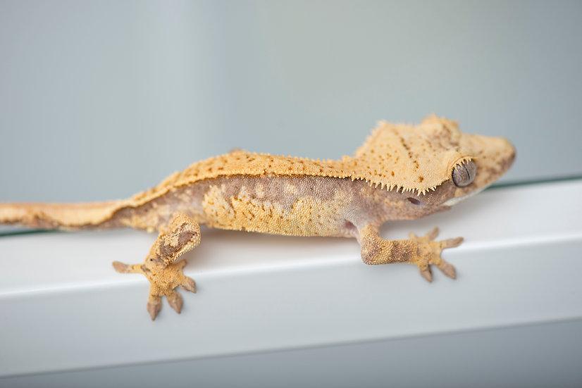 Lavender & Cream Pinstripe/Harlequin Crested Gecko