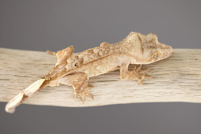 Yellow Pinstripe with White Portholes Crested Gecko