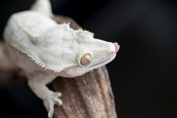 WHITE PATTERNLESS CRESTED GECKOERNLESS CRESTED GECKO