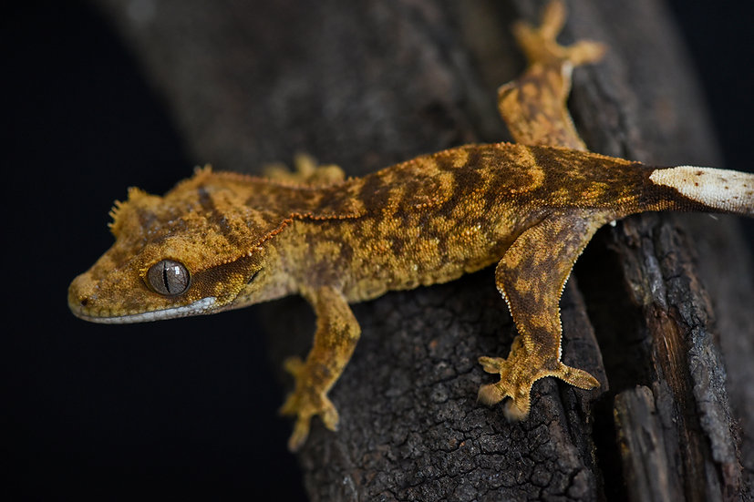 Super Brindle Crested Gecko