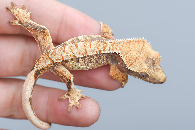 Tri Color Extreme Harlequin Crested Gecko