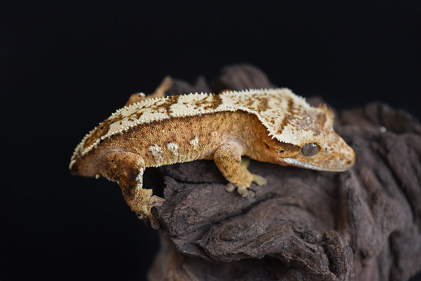 Creamsicle Partial Pinstripe Crested Gecko