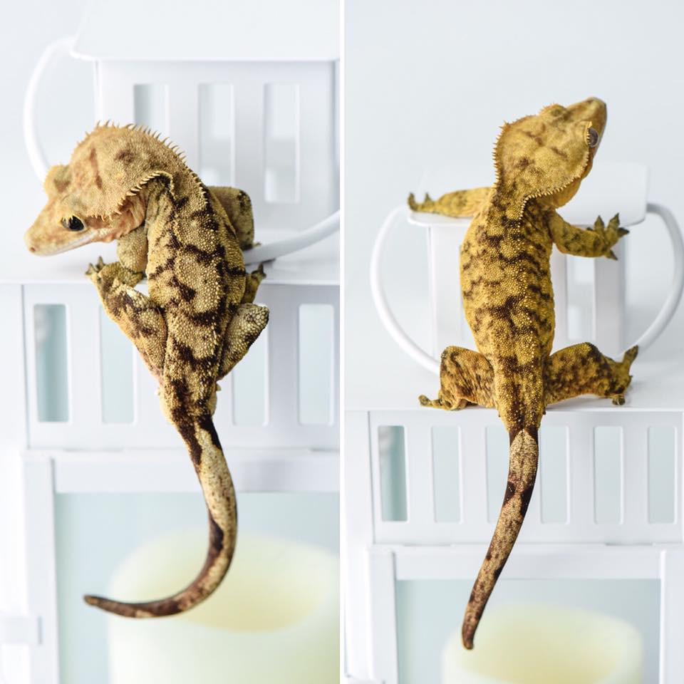 SUPER TIGER CRESTED GECKO PAIR