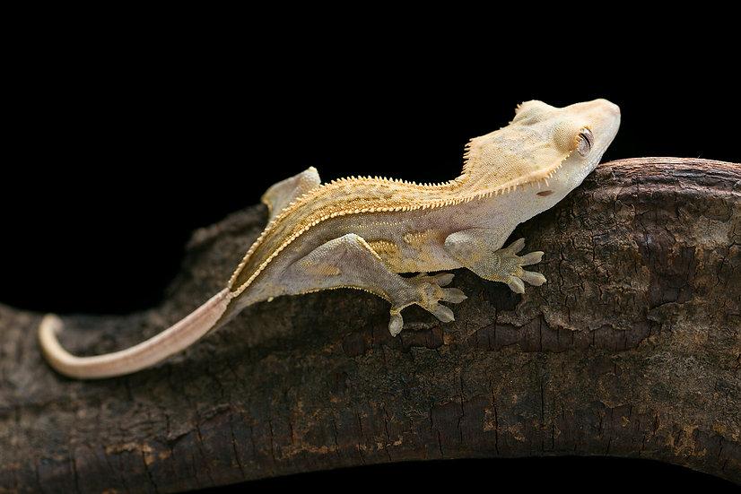 Lavender Pinstripe Crested Gecko