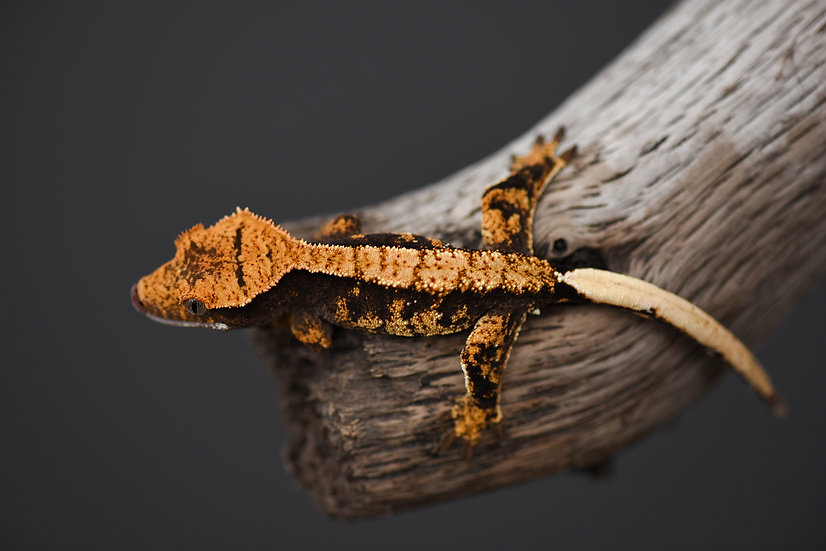 Halloween Extreme Harlequin Crested Gecko