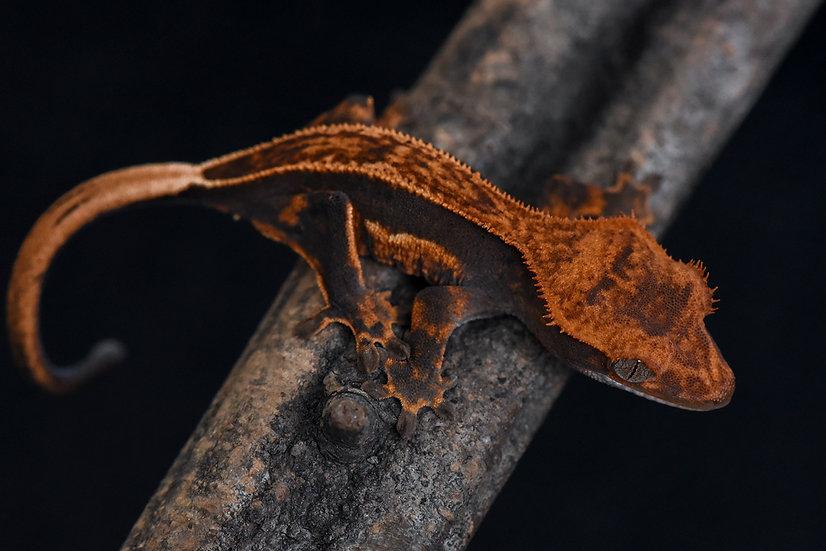 Halloween Pinstripe Crested Gecko