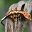 Thumbnail: High Contrast Harlequin Crested Gecko