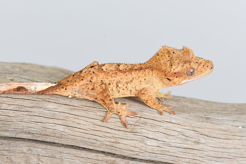 Black, Red & Green Spotted Yellow Dalmatian Crested Gecko
