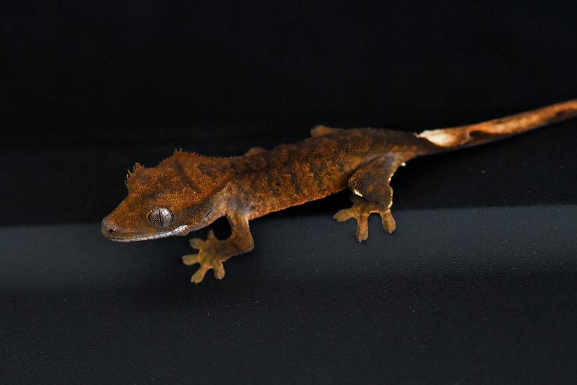 Dark Super Tiger Crested Gecko