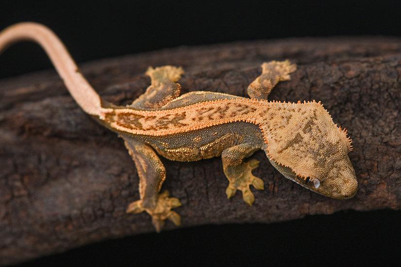 Tangerine/Lavender Pinstripe Crested Gecko