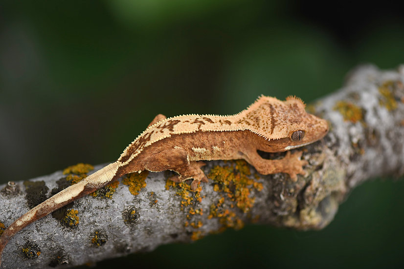 Creamsicle Pinstripe Crested Gecko
